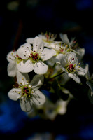 Bradford Pear Bouquet