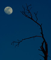 Moon and Old Tree